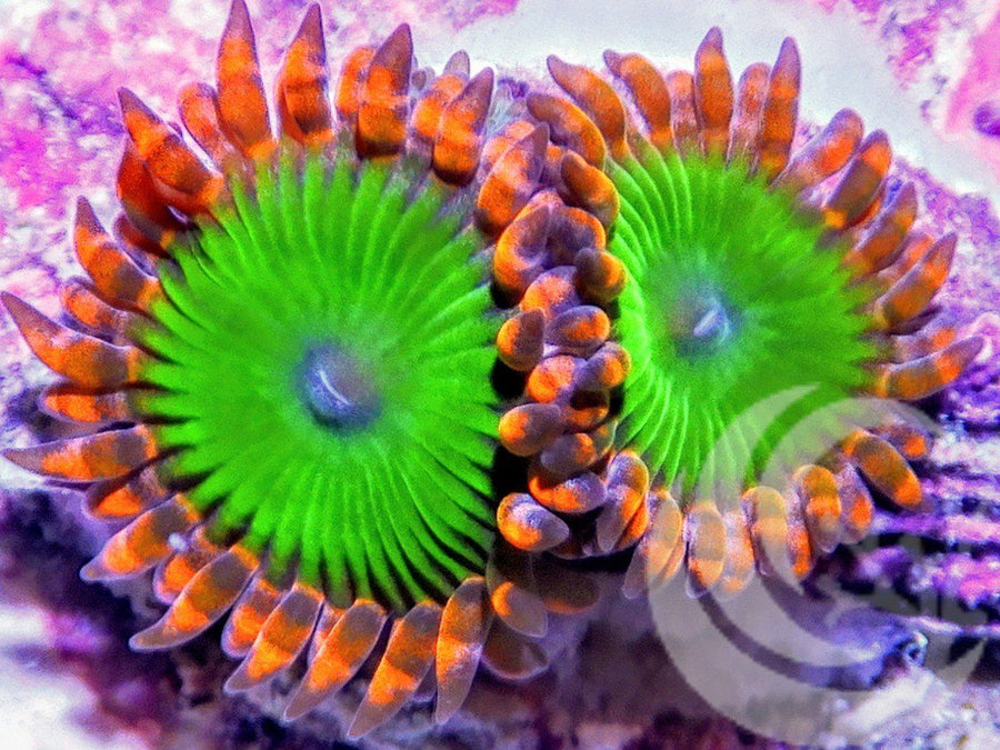 Candy Apple Zoanthids
