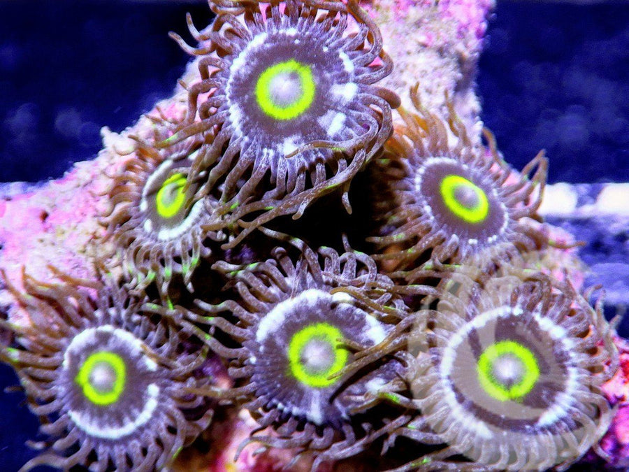 Alien Blood Rings Zoanthids
