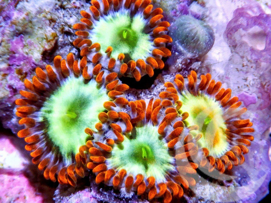 Electric Zoanthids