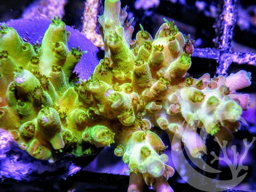 Lime Table Acropora