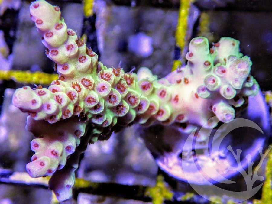 Fire Breathing Dragon Acropora
