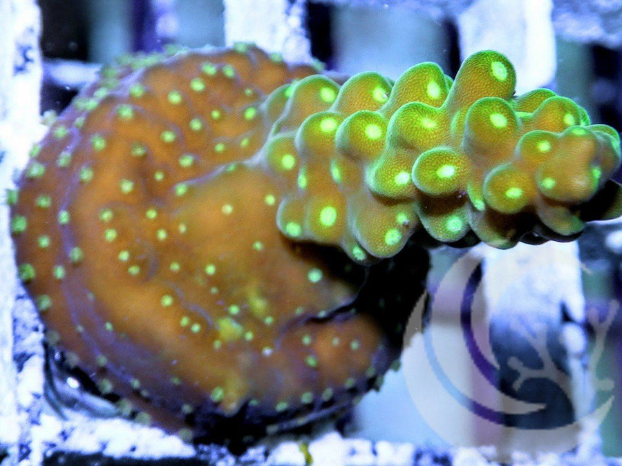 Glowing Polyp Acropora