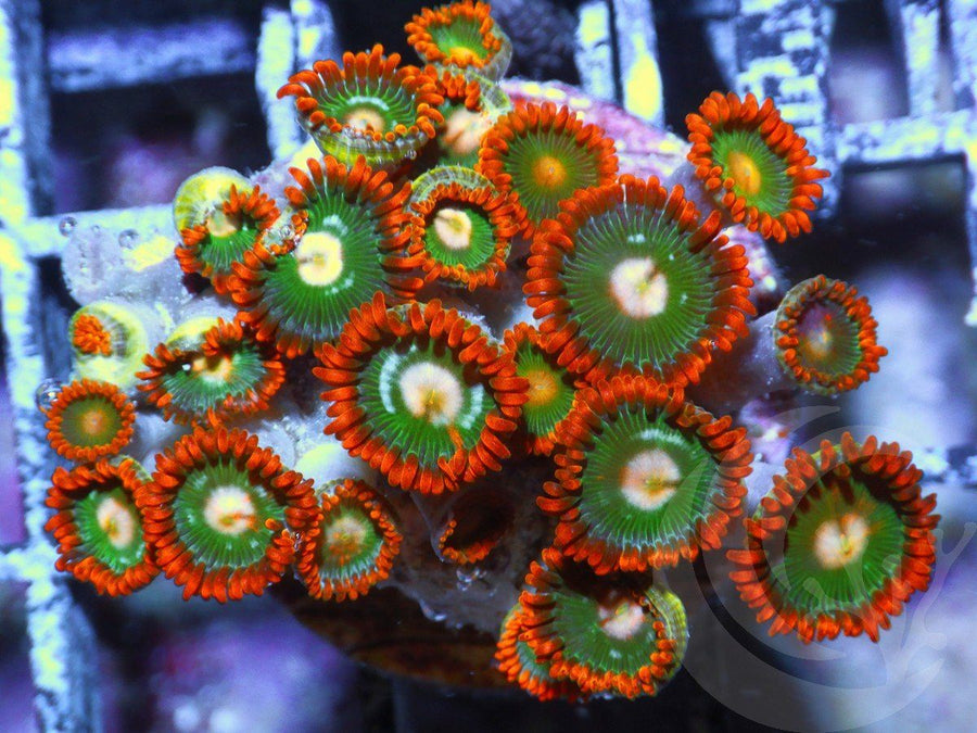 Christmas Cheer Zoanthids