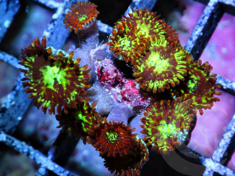 Red Chaos Zoanthids