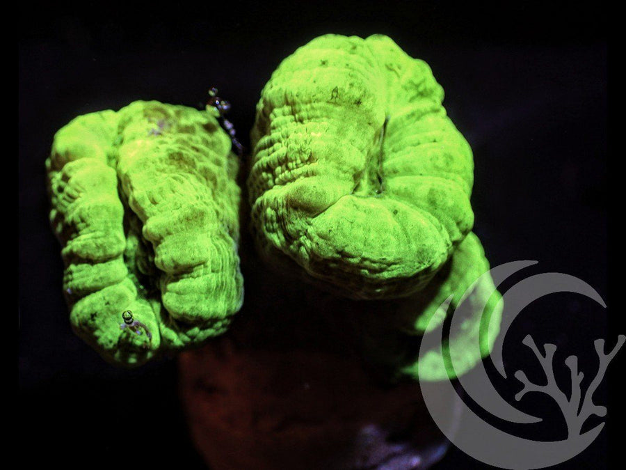 Radioactive Kryptonite Caulastrea