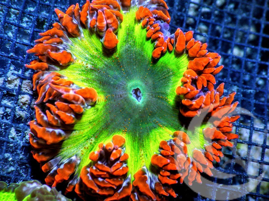 Jingle Bells Rock Anemone