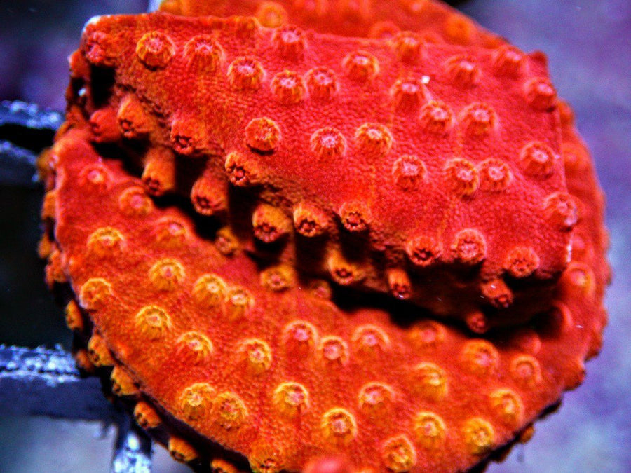Red Hot Lava Cyphastrea