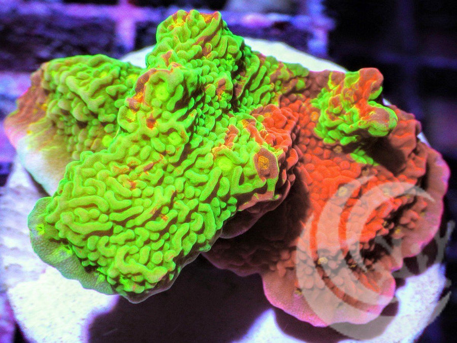 Grafted Montiipora