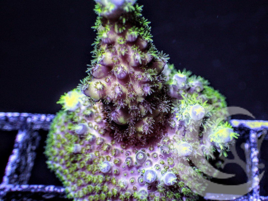 Hairy Blue tip Acropora