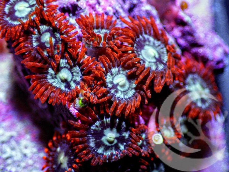Red Skirt Zoanthids