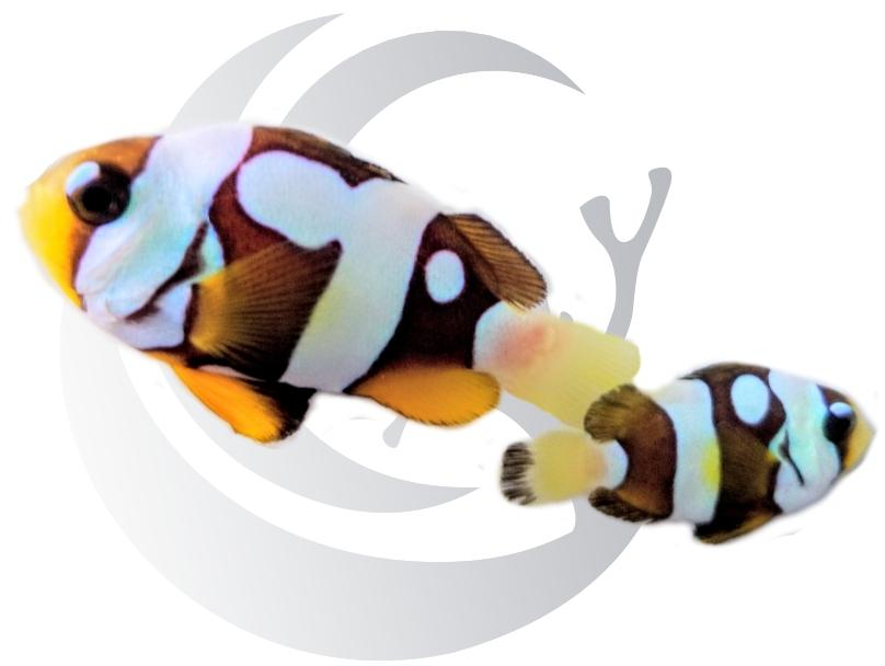 Galaxy Clarki Clownfish Pair Captive Bred