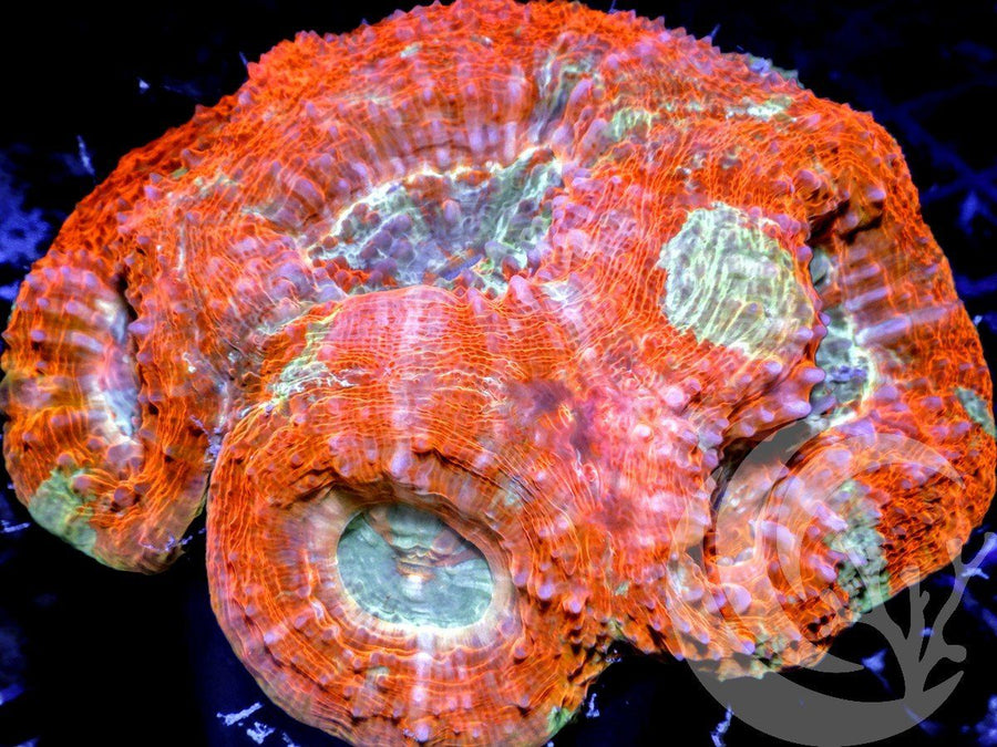 Red Teal Acan bowerbanki
