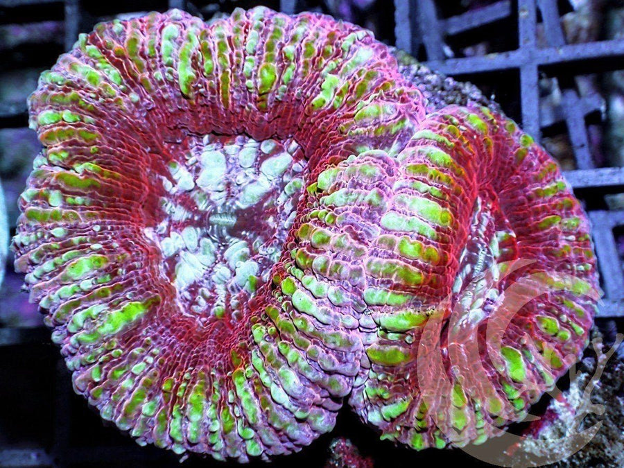 Double Headed Pink Lip Acan maxima