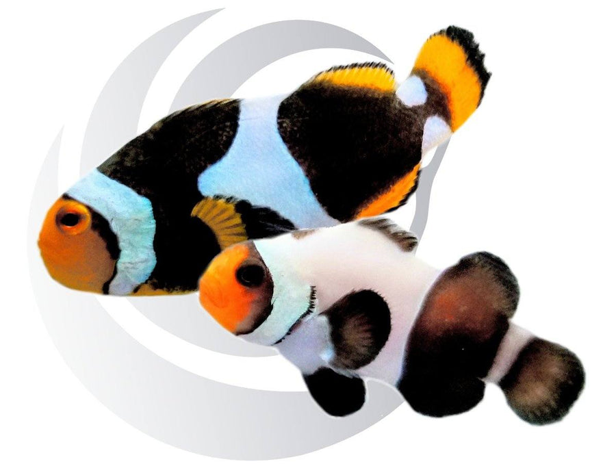 UNUSUAL 1/2 & 1/2 combined with Onyx Clownfish WYSIWYG Pair