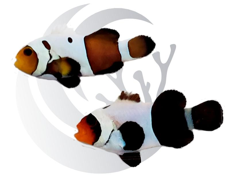Half and Half Clownfish Pair Captive Bred