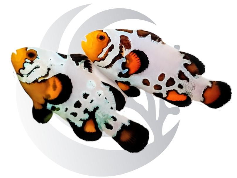 Insane Bullethole Clownfish Pair Captive Bred