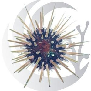 Short Spine Urchin