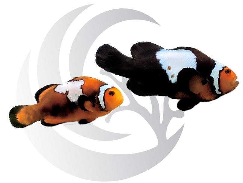 Lightning Bolt Mochachino Clownfish Pair Captive Bred