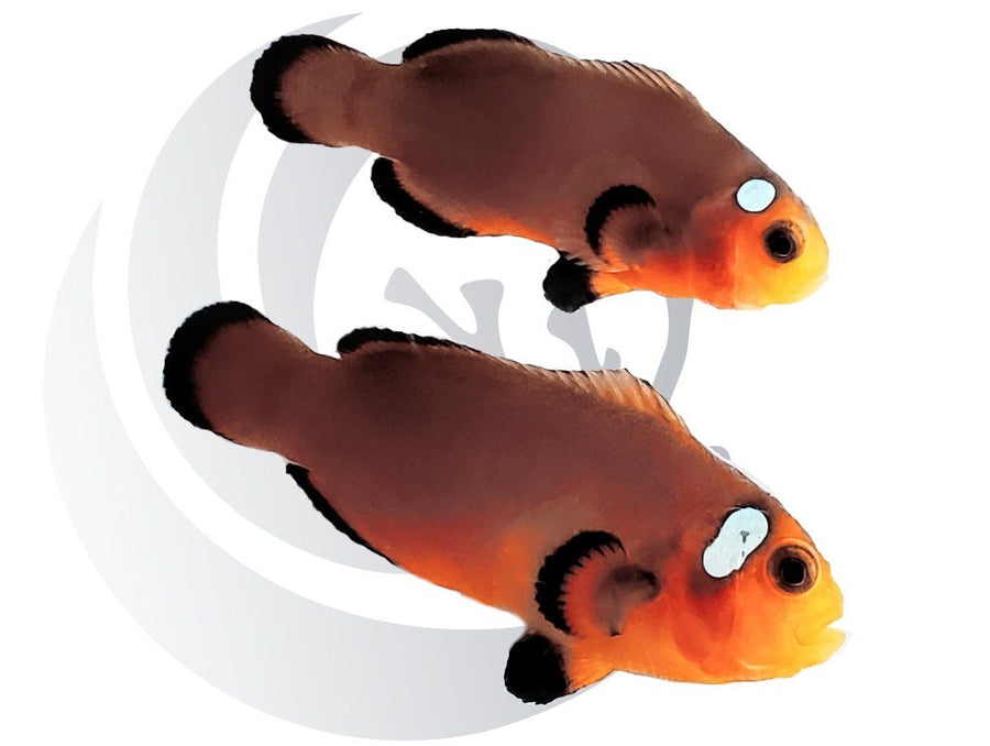 Mocha Domino Clownfish Pair Captive Bred #1