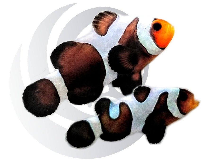 Mocha Gladiator Clownfish Pair Captive Bred Pair #2