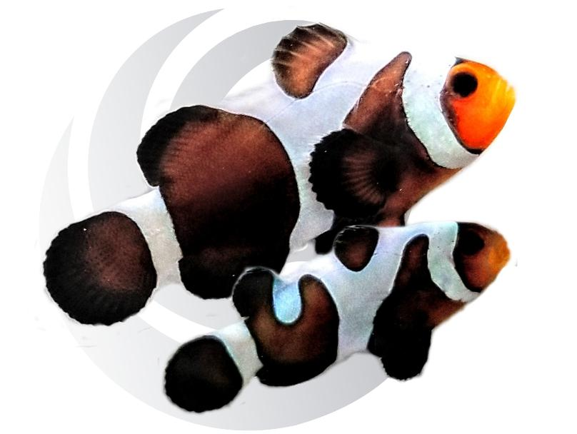 Mocha Gladiator Clownfish Pair Captive Bred Pair #1
