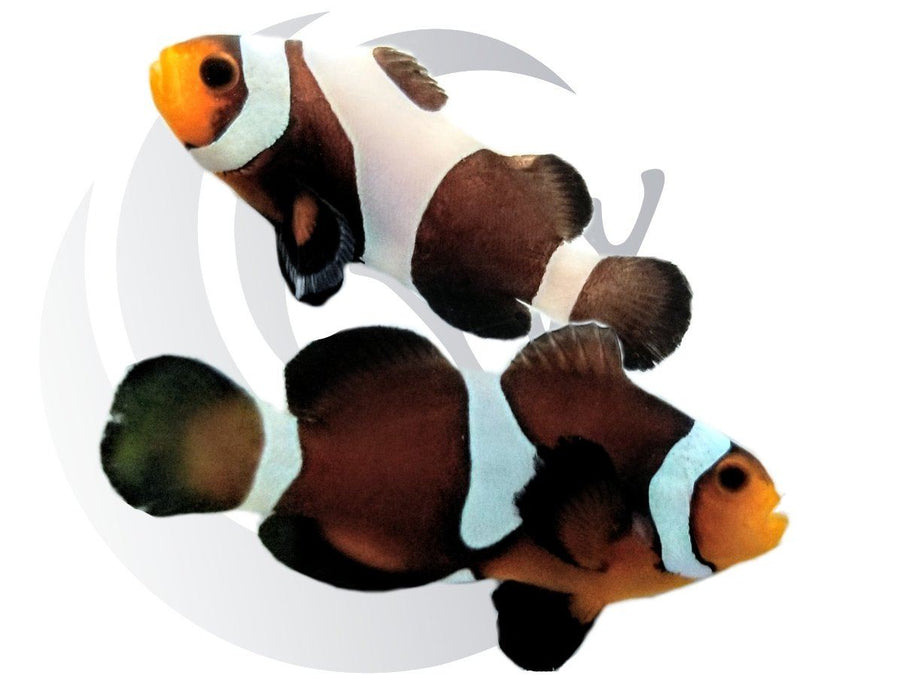 Mocha and Mocha Gladiator Clownfish Pair Captive Bred