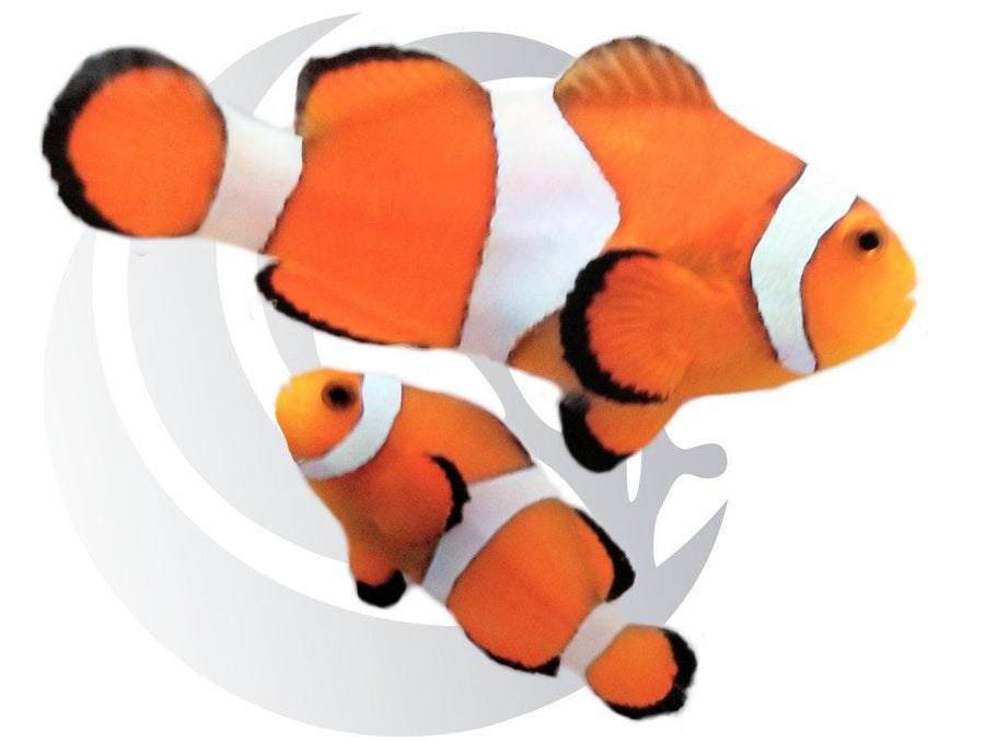 Ocellaris Clownfish Pair Captive Bred