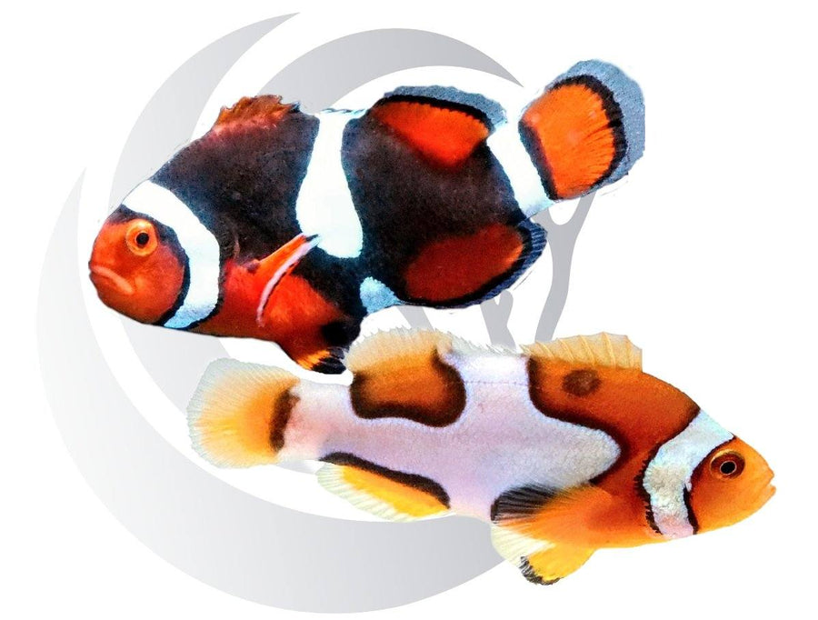 Onyx Picasso Clownfish Pair