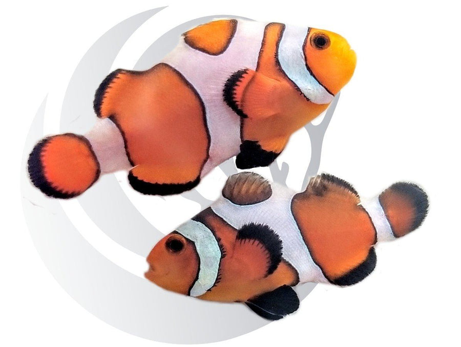 Premium Gladiator Clownfish Pair
