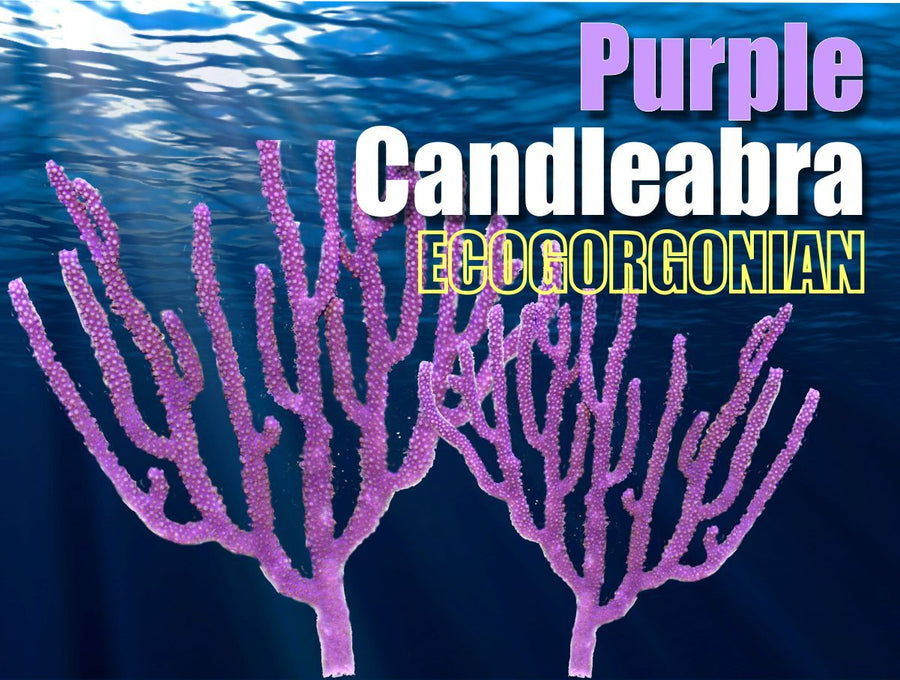 Purple Candleabra Gorgonian