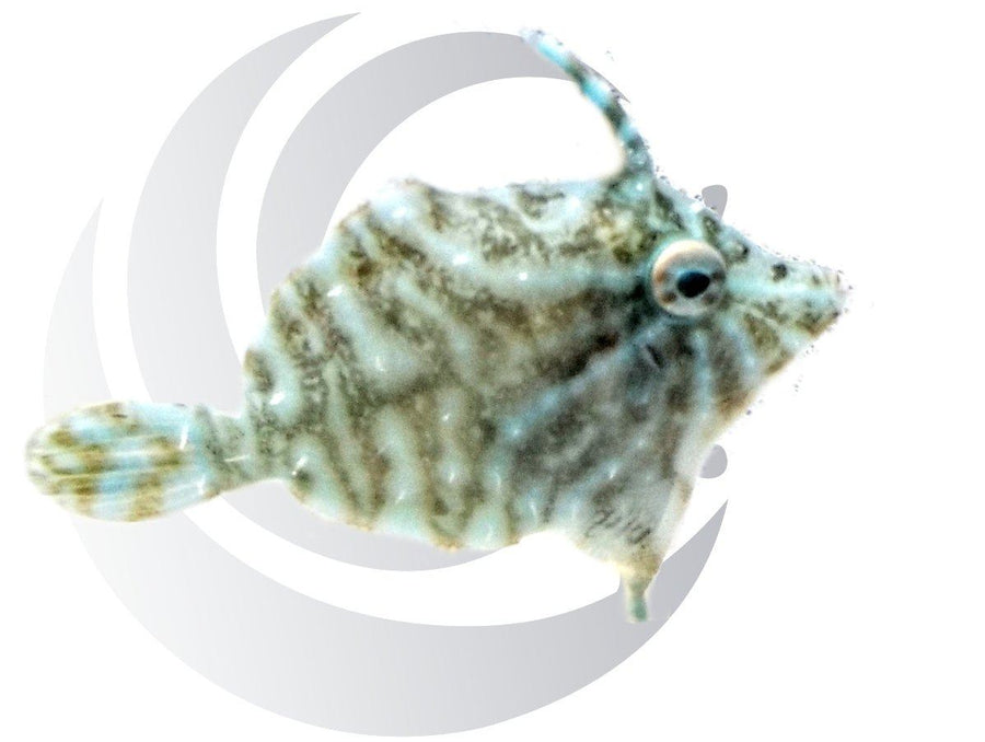 Radial Filefish Captive Bred