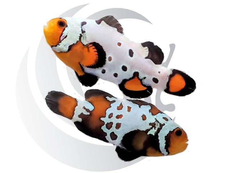 Radical Bullethole Clownfish Pair Captive Bred