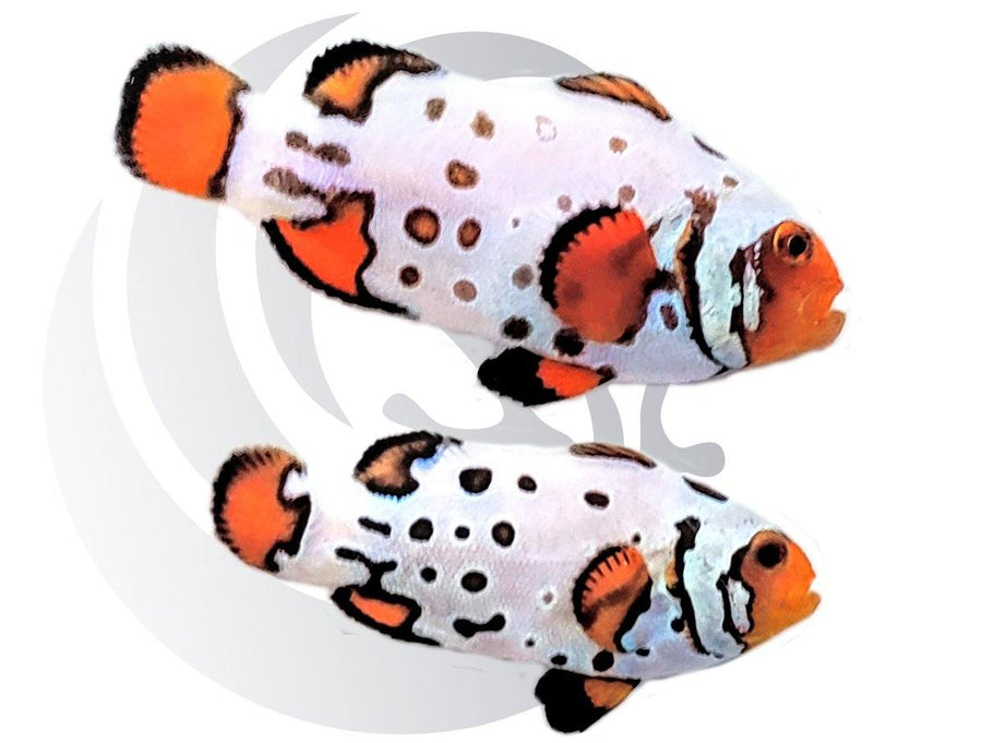 Radical Bullethole Clownfish Pair Captive Bred #2