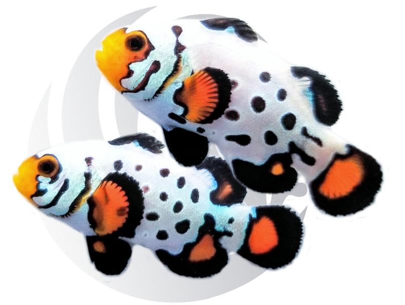 Radical Crazy Bullethole Clownfish Pair Captive Bred