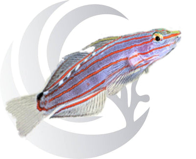 Rainfords Goby