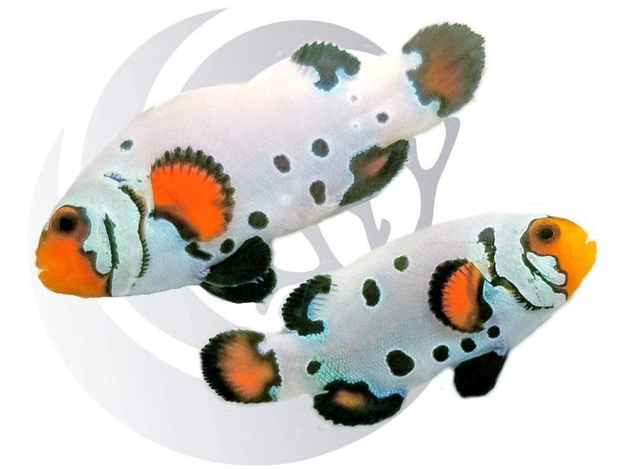 Snowball Clownfish Pair