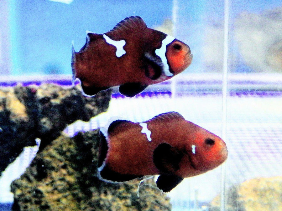 MIdnight Black Ice Clownfish Pair