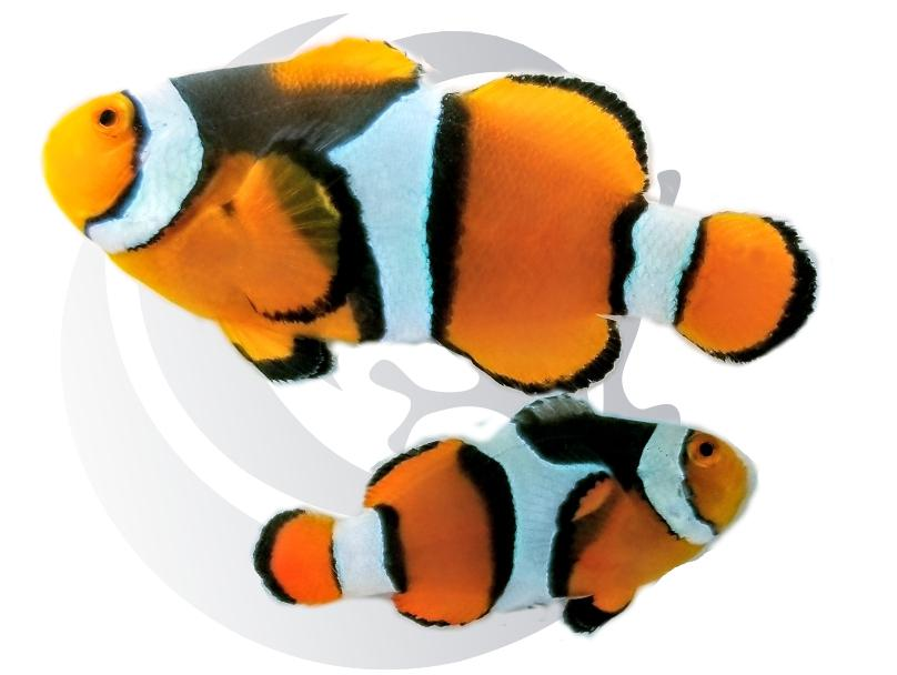True Percula Clownfish Pair Captive Bred Pair #1
