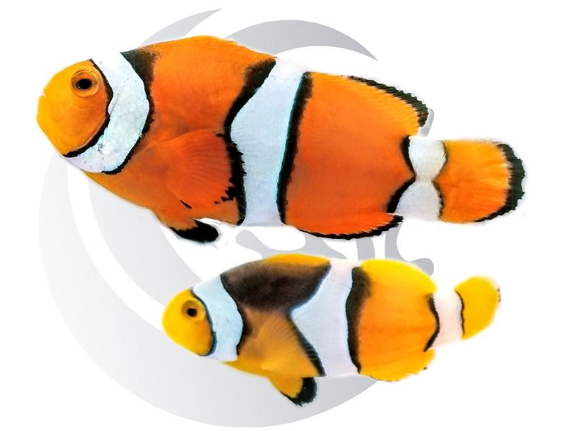 True Percula Clownfish Pair Captive Bred