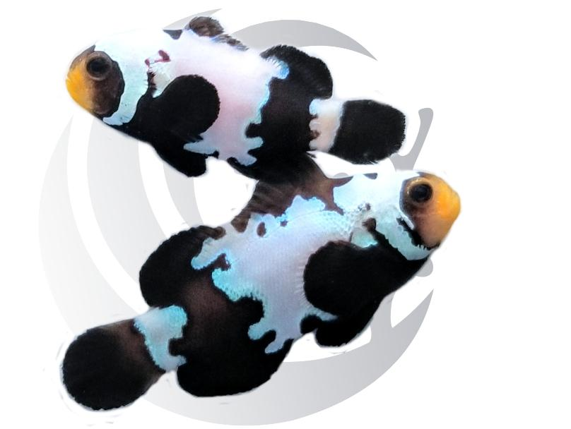 Ultra Black Snowflake Clownfish Pair Captive Bred