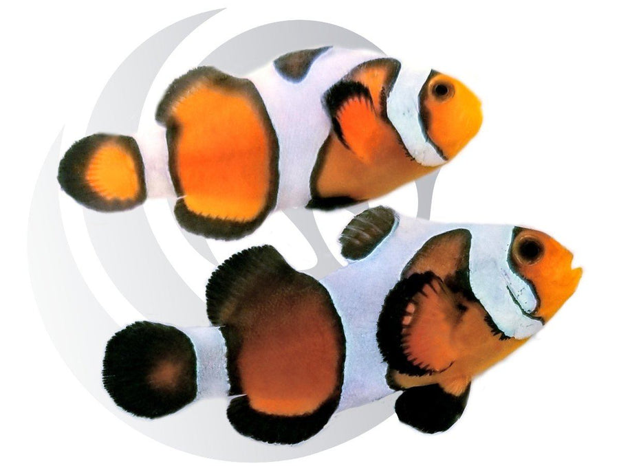 Ultra Gladiator Clownfish Pair Captive Bred