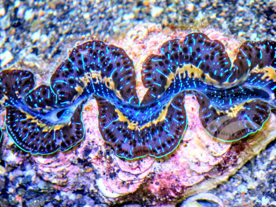 Blue Gold Maxima Clam