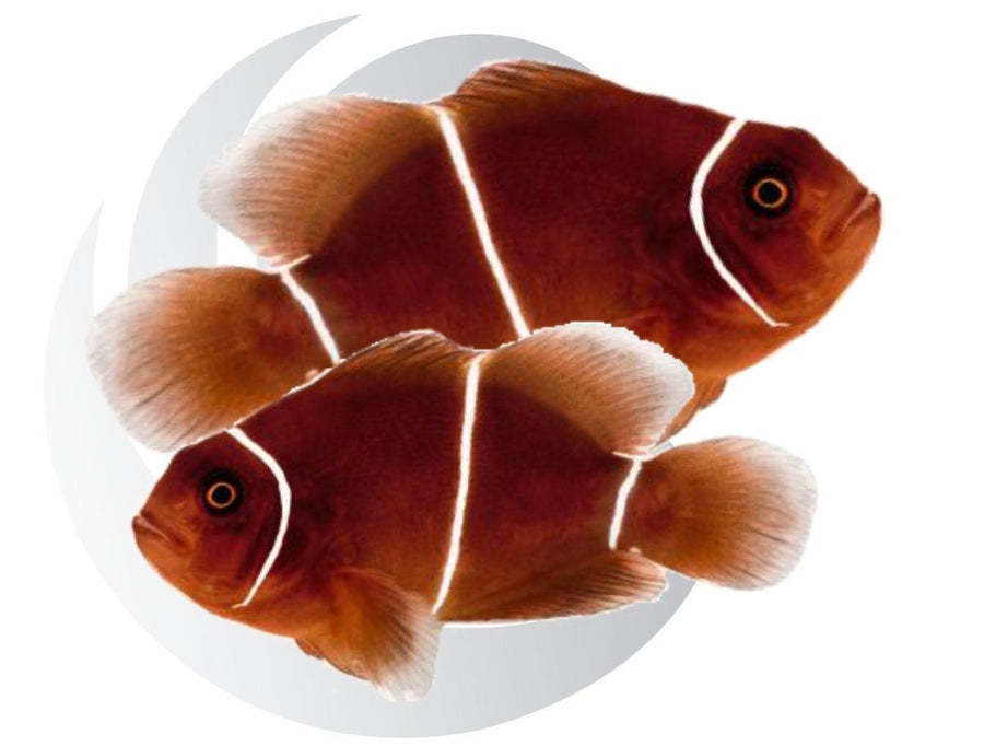 White Stripe Maroon Clownfish Pair Captive Bred