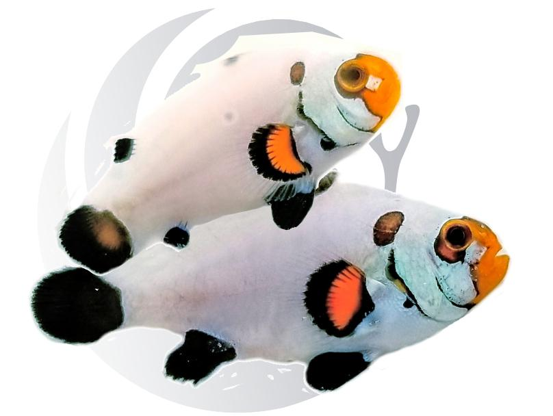 Wyoming White Clownfish Pair Captive Bred