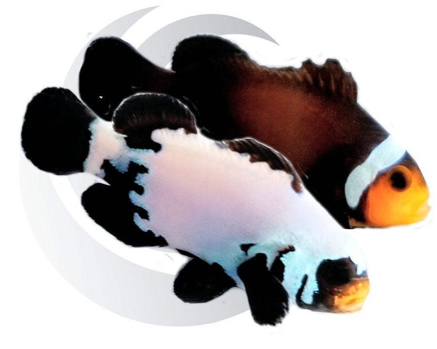 Black Snowflake and Extreme Mosbar Mocha Clownfish Pair Captive Bred