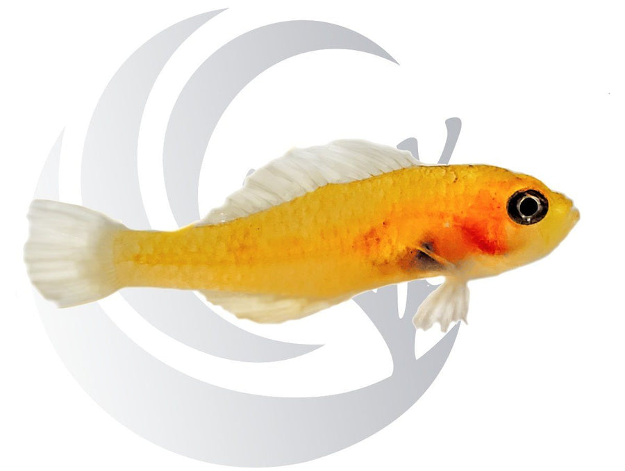 Yellow Trimma Goby Captive Bred