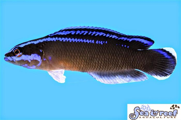 Black Neon Dottyback - Captive Bred form Sea & Reef