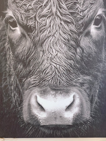 Holy Cow Up Close Canvas 20x24