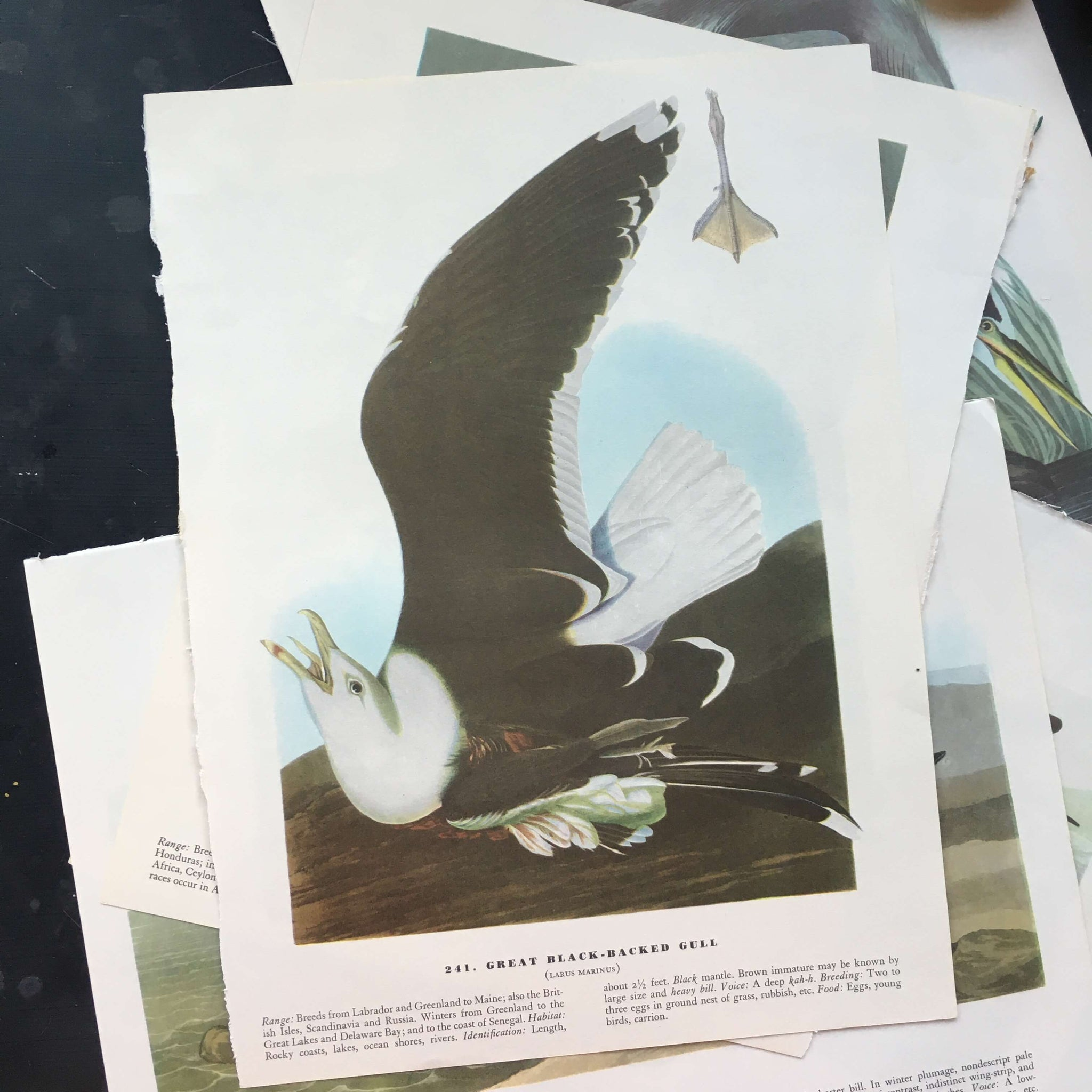 Vintage Audubon Bird Prints - Snowy Egret and Great Black Backed Gull - John James Audubon