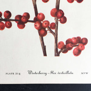 1950's Red Berry Botanical Print - Winterberry & Red Maple - Wild Flowers of America Bookplates